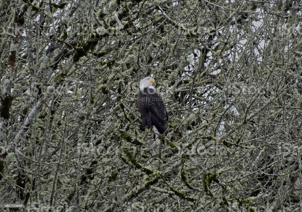 Civil War Eagle stock photo