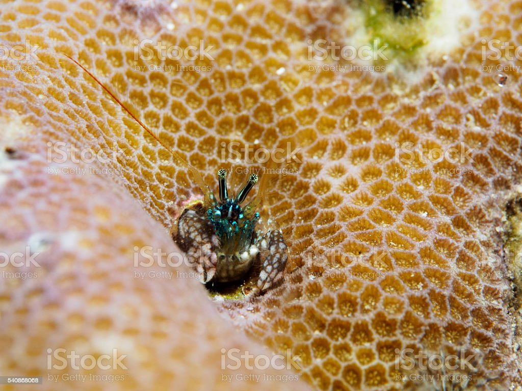 Clab inside coral reefs stock photo