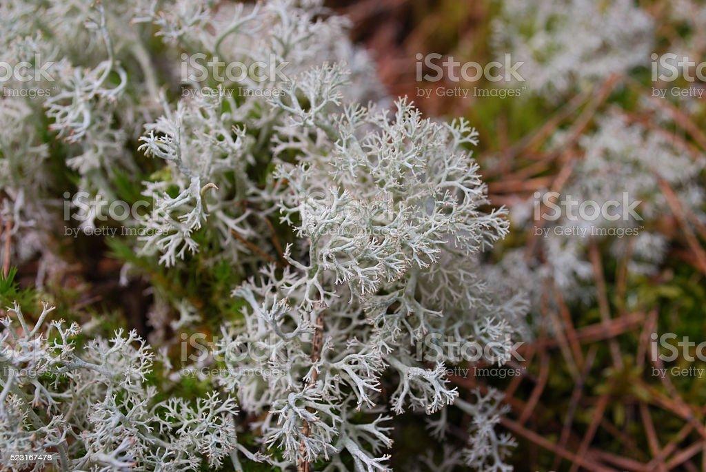 Cladonia rangiferina (reindeer lichen). stock photo