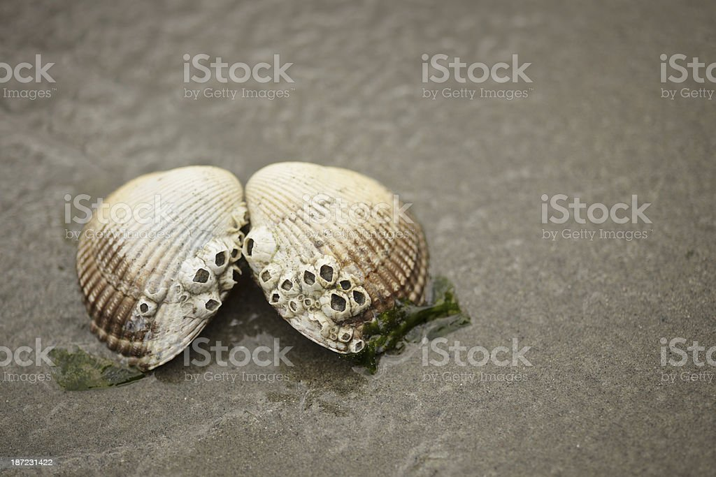 Clam royalty-free stock photo