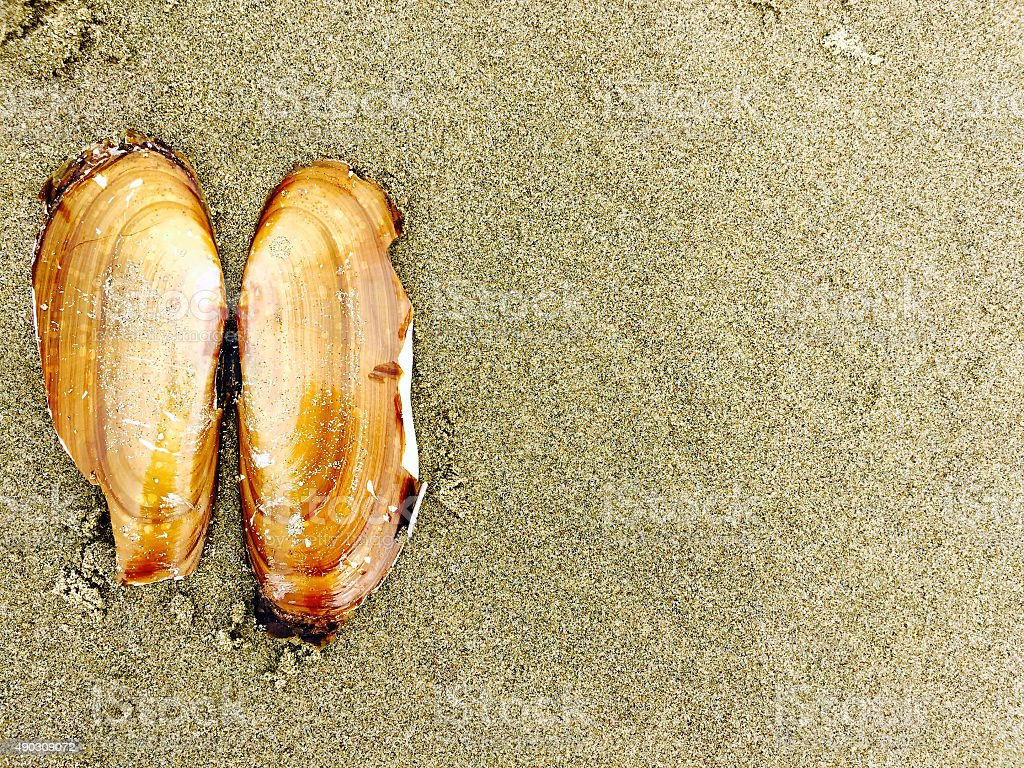 Clam shell on the beach royalty-free stock photo