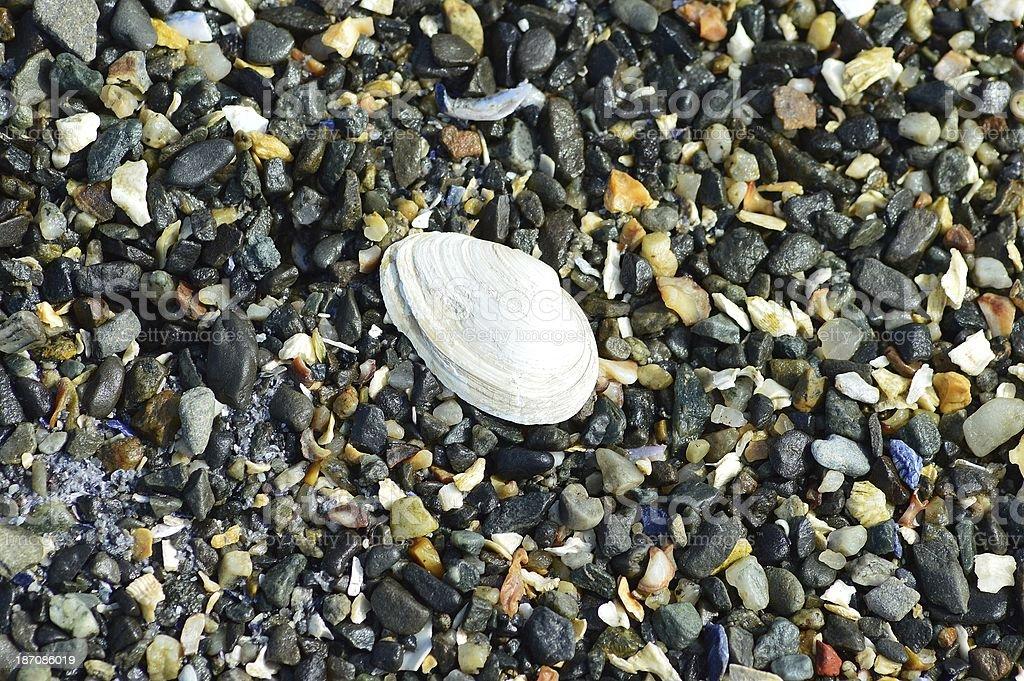 Palourde Shell photo libre de droits