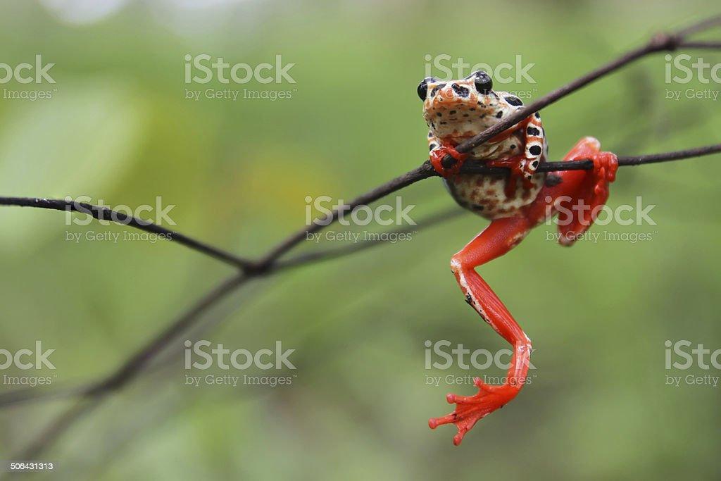 Clambering Frog stock photo