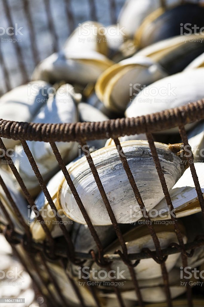 Clams Fresh in a basket stock photo