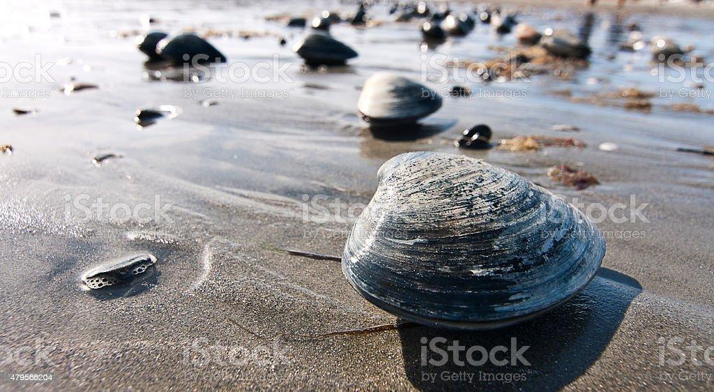 Clams on the Beach stock photo