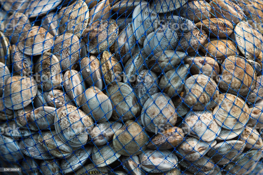 clams stock photo