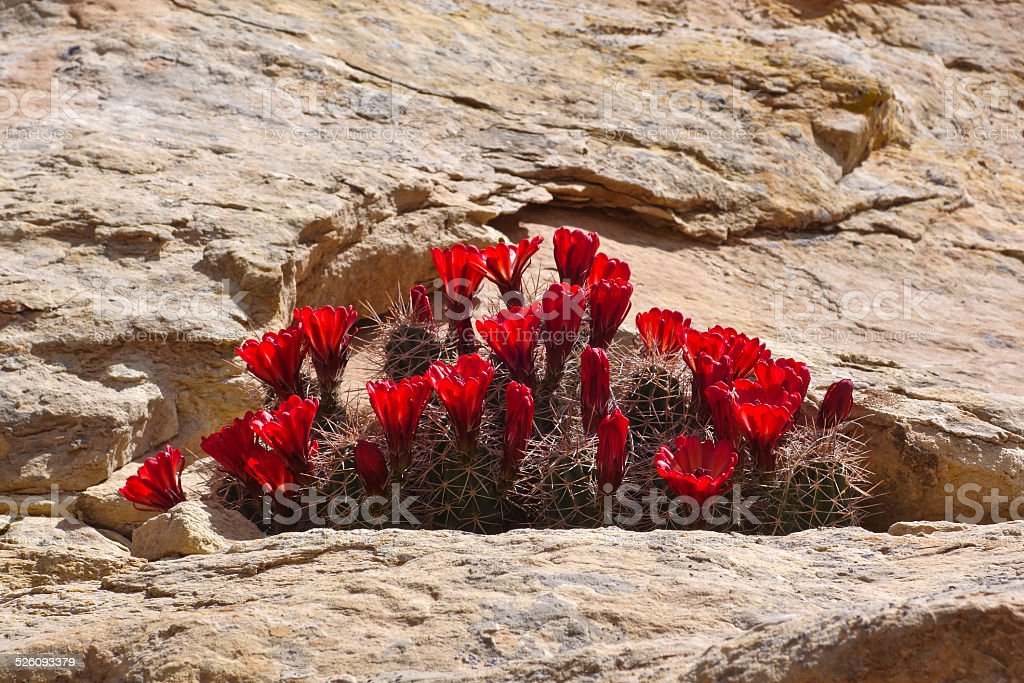 Claret Cup Cactus and Sandstone stock photo