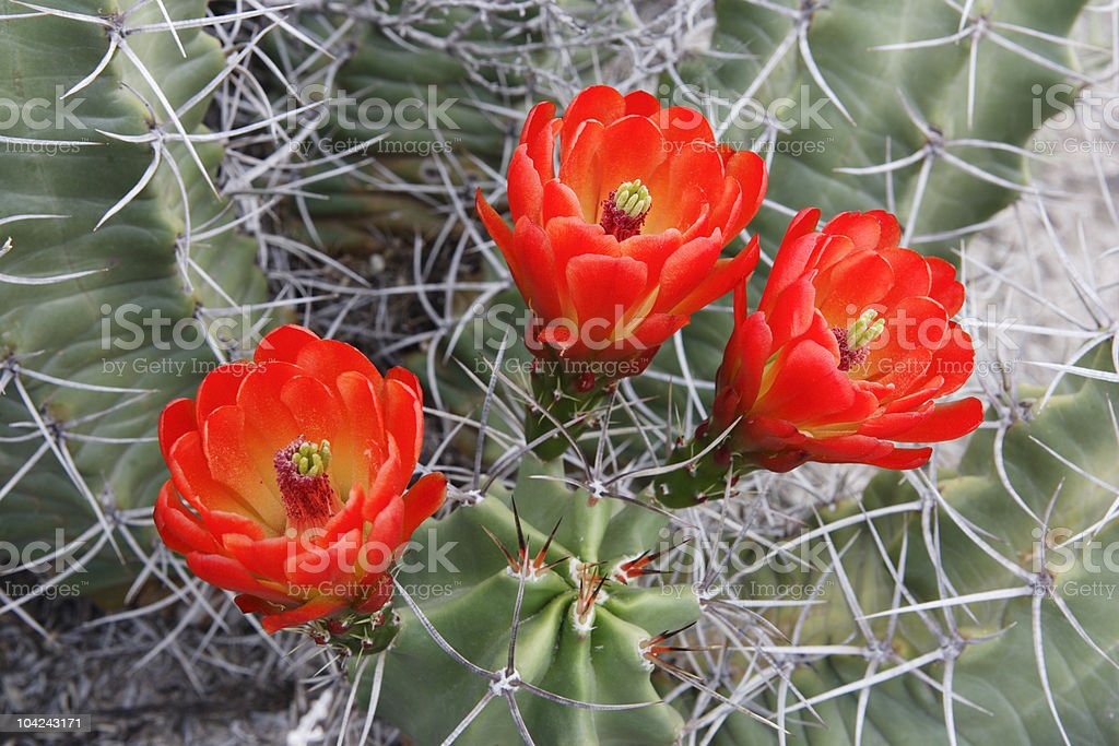 Claret Cup Cactus Blossoms stock photo