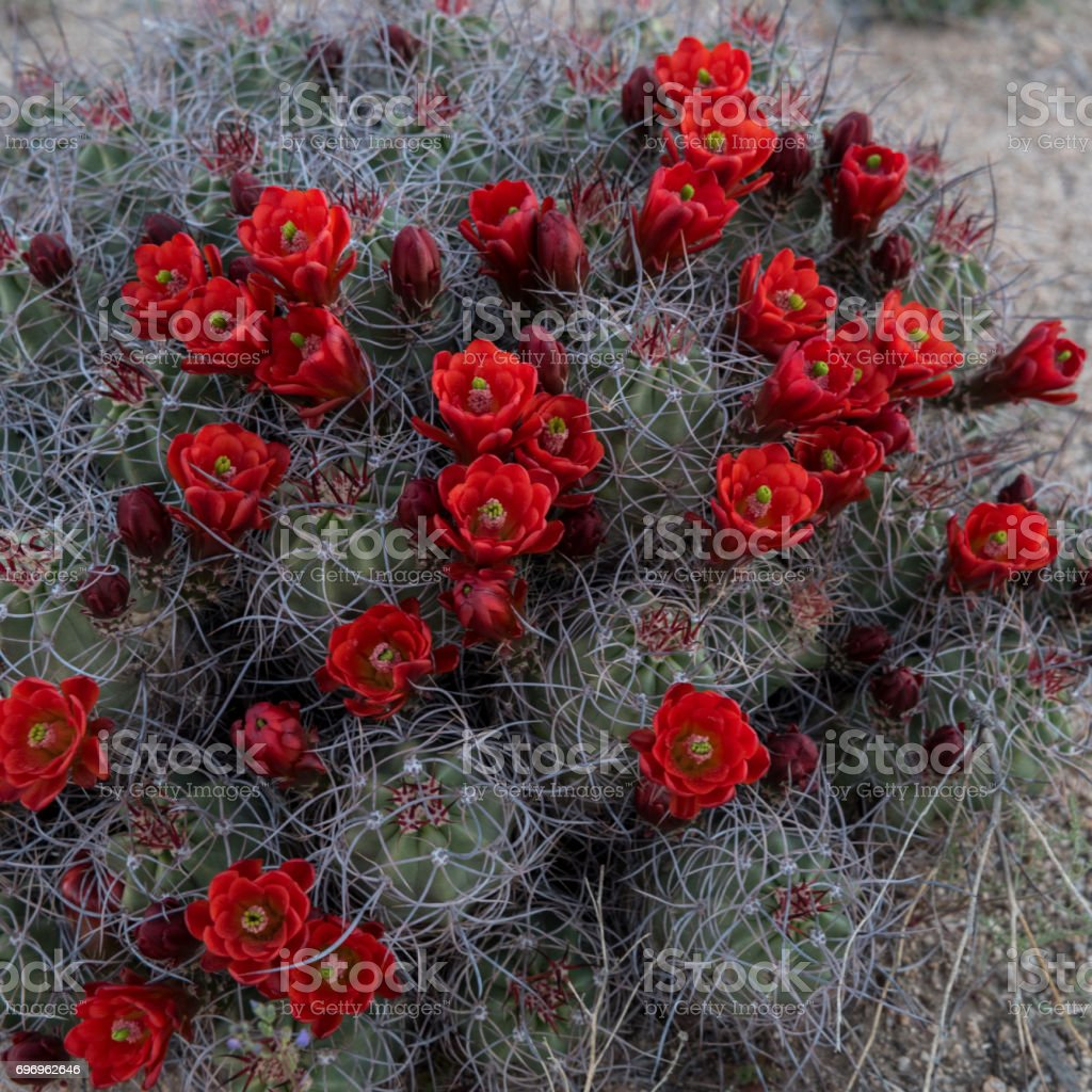 Claret Cup Cactus Covered in Red Blooms stock photo