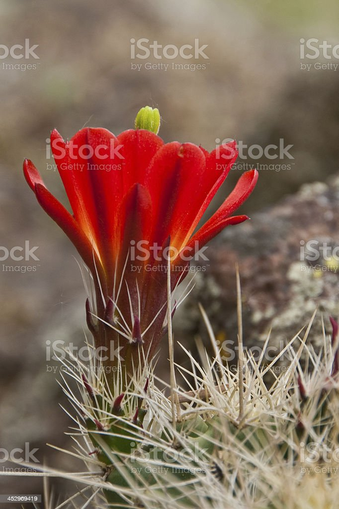 Claret Cup Cactus in Bloom stock photo