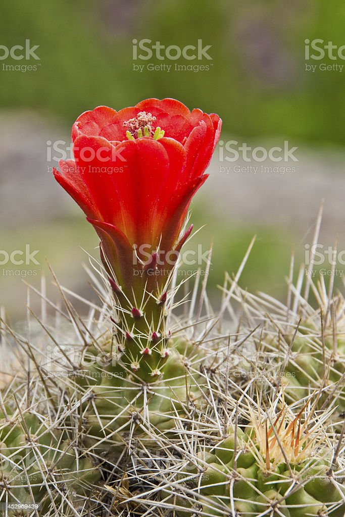 Claret Cup Cactus in Bloom royalty-free stock photo