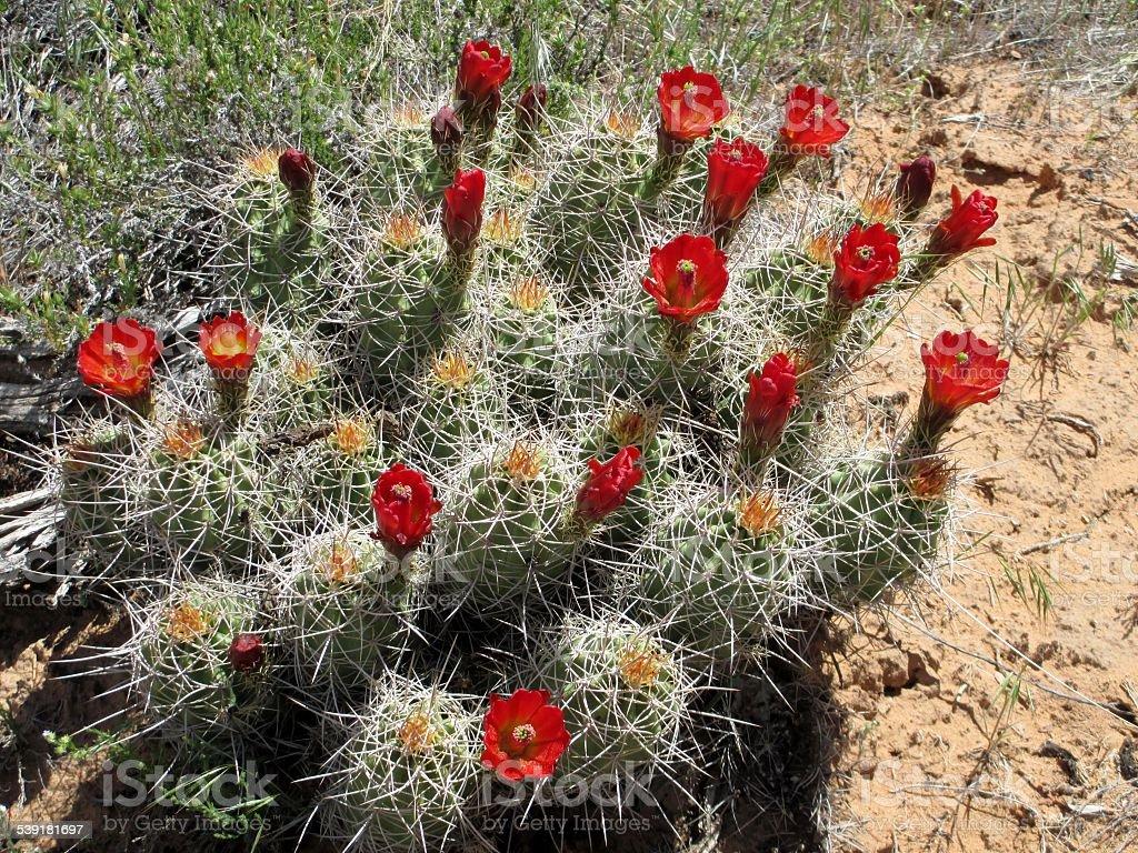 Claret Cup Cactus in Full Bloom stock photo
