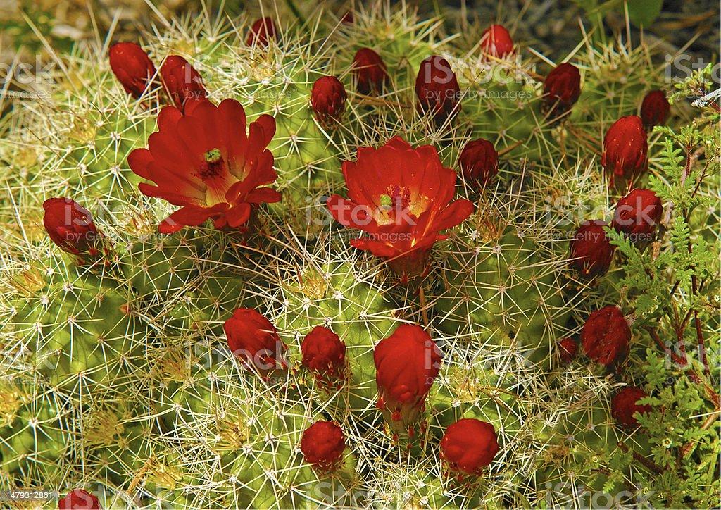 Claret Cup Cactus stock photo