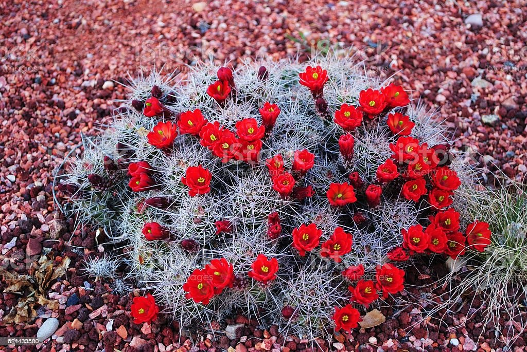 claret cup cactus, vibrant blooms in spring Zion National Park stock photo
