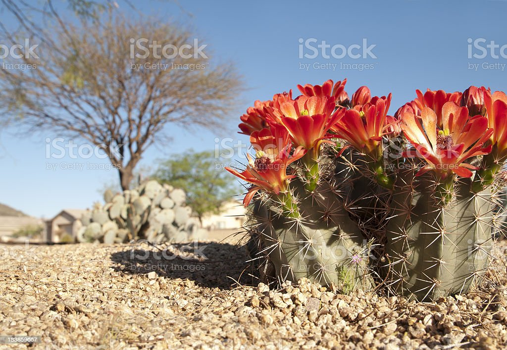 Claret Cup Hedgehog Blossoms stock photo