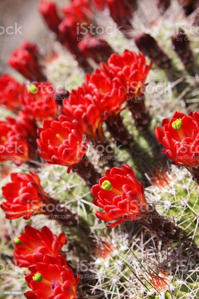 Claret Cup Hedgehog Cactus Flower Blossoms stock photo
