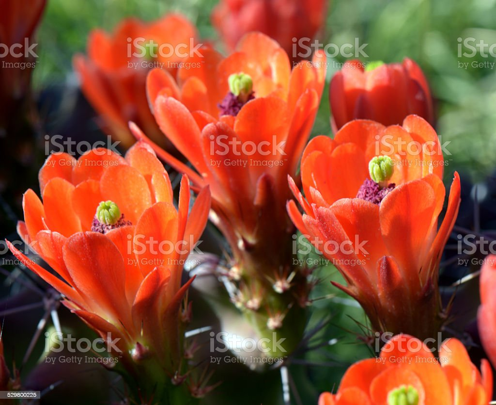 Claret Cup stock photo