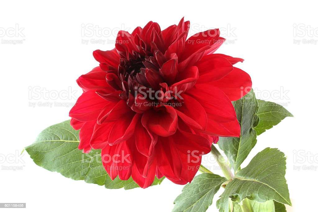 Claret red dahlia isolated on white background stock photo