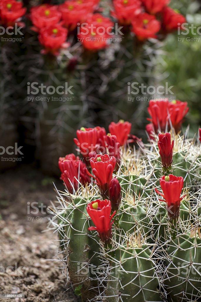 Claret-cup cactus flowers (Echinocereus triglochidiatus) royalty-free stock photo