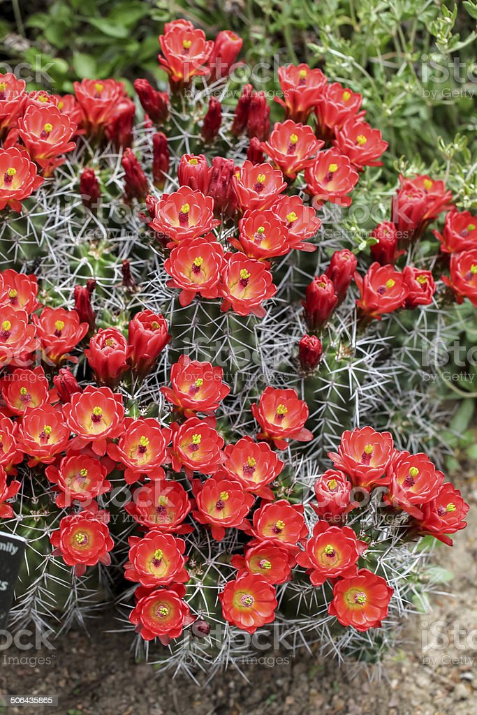 Claret-cup cactus flowers (Echinocereus triglochidiatus) royalty-free stock photo