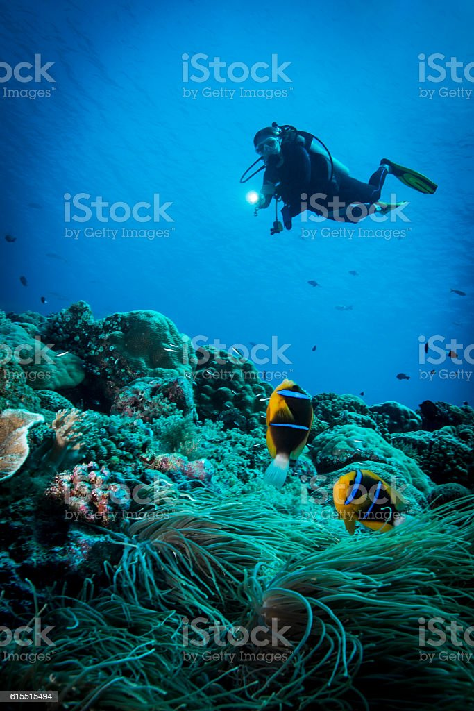 Clark's anemonefish and Diver - Palau stock photo