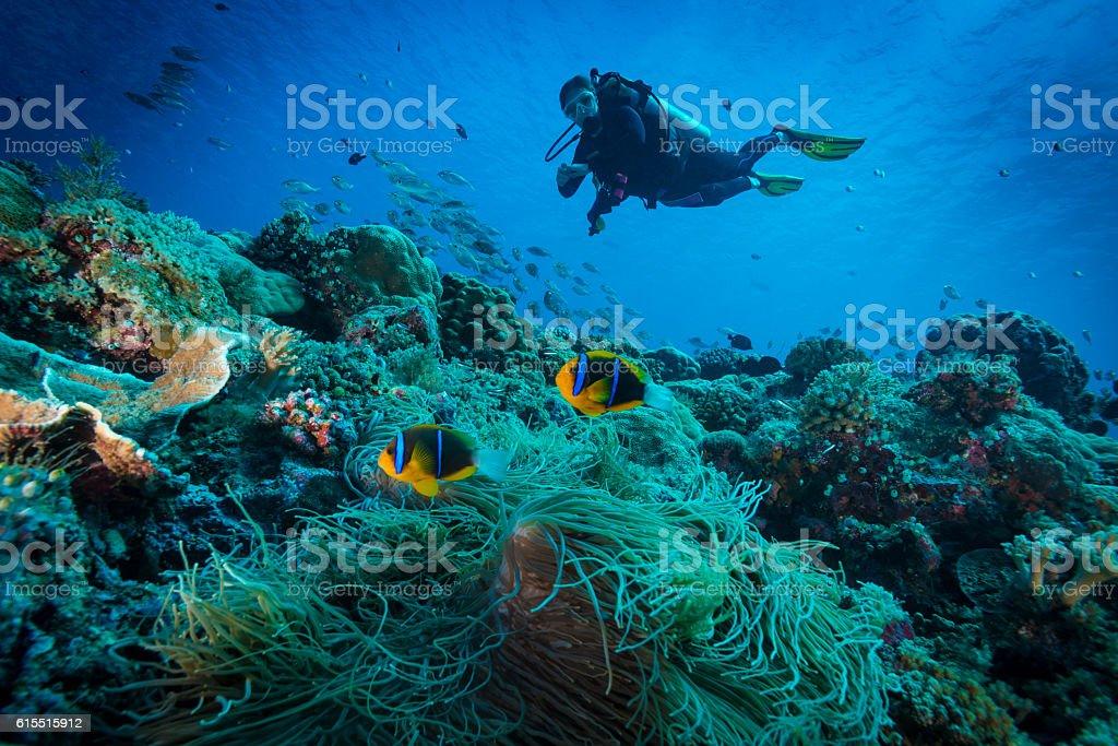 Clark's anemonefish and Diver - Palau stock photo