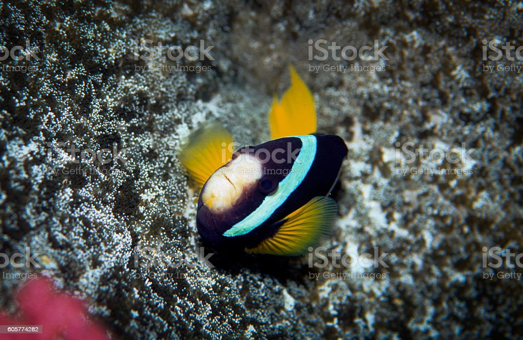 Clark's Anemonefish - Thailand (Defense) royalty-free stock photo