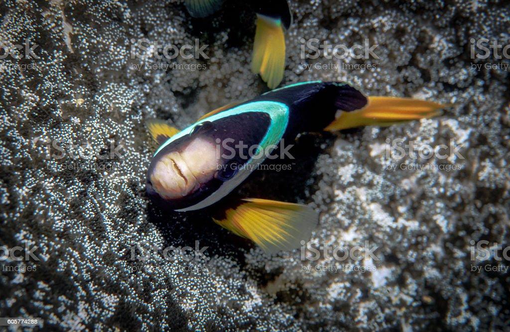 Clark's Anemonefish - Thailand (Eyes up) royalty-free stock photo