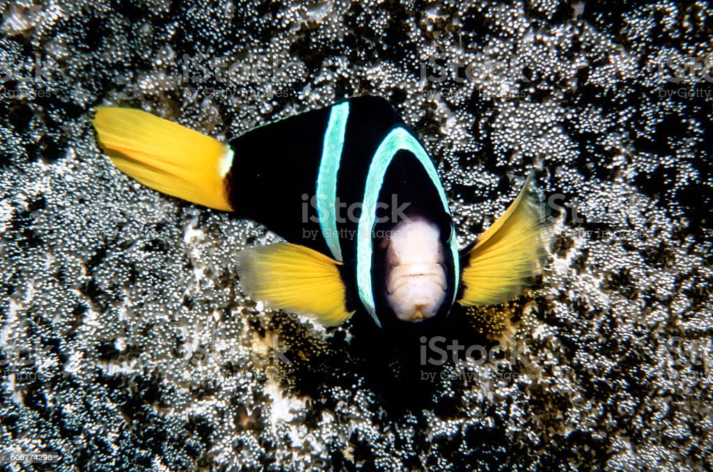 Clark's Anemonefish - Thailand (Guard) royalty-free stock photo