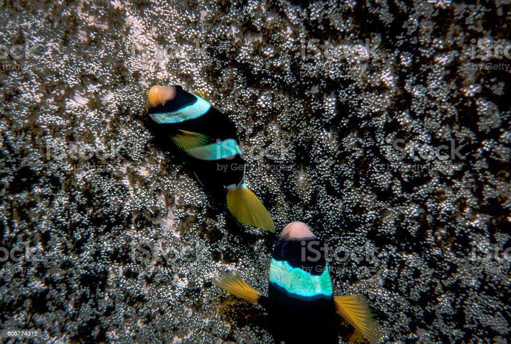 Clark's Anemonefish - Thailand (Pair) royalty-free stock photo