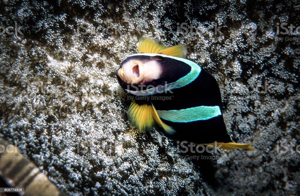 Clark's Anemonefish - Thailand royalty-free stock photo