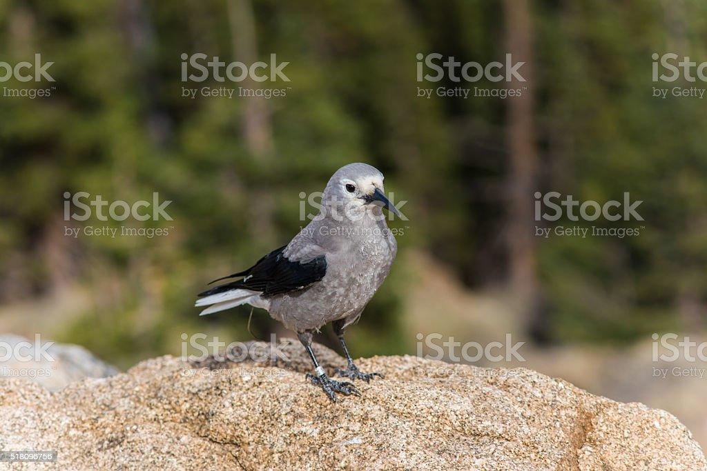 Clark's nutcracker bird in the Rocky Mountains in Colorado stock photo