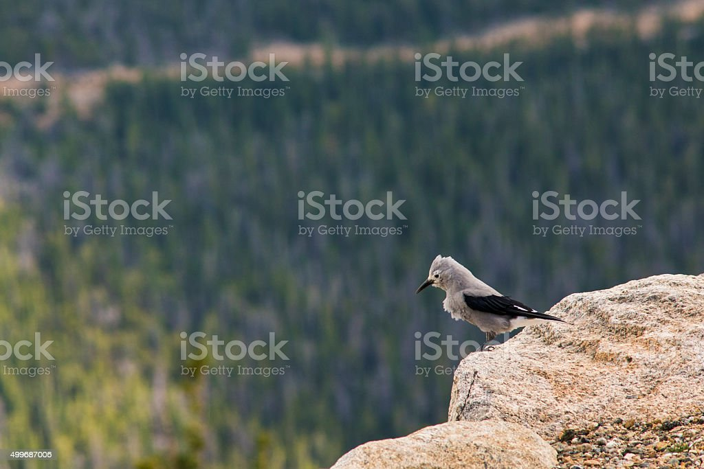 Clark's Nutcracker Bird with Pine Forest at Background stock photo