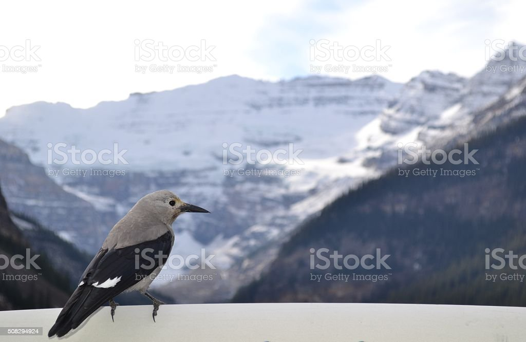 Clark's Nutcracker Perched Looking at Mountain stock photo