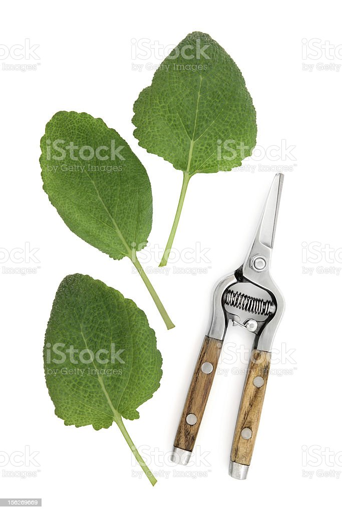 Clary Sage Herb royalty-free stock photo