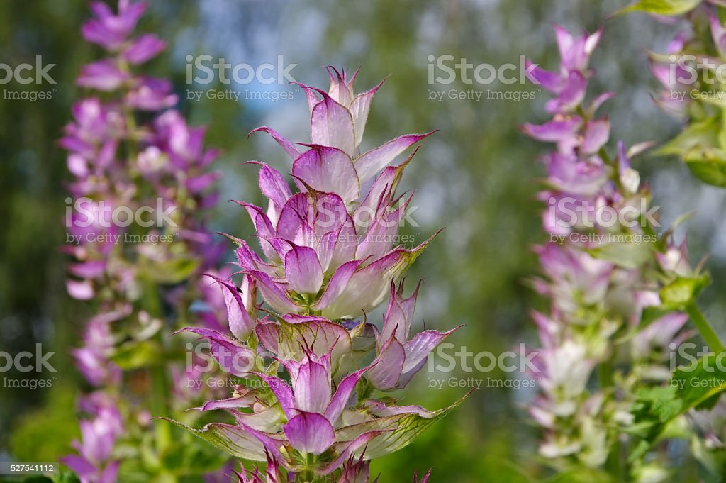 clary sage plant in garden stock photo