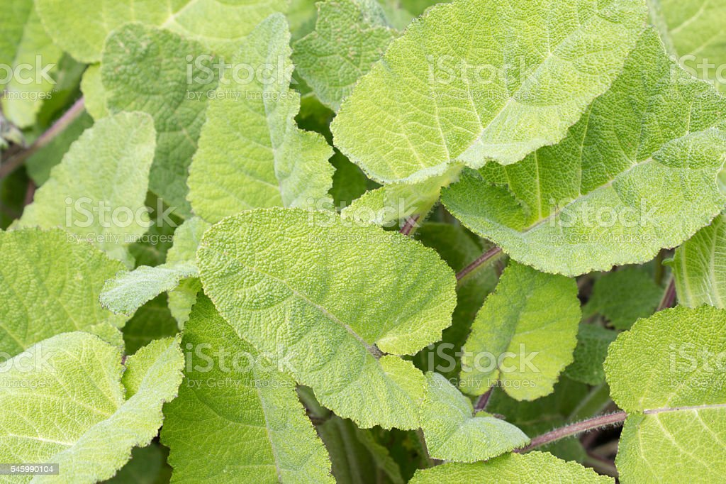 Clary - Sage - Salvia sclarea stock photo