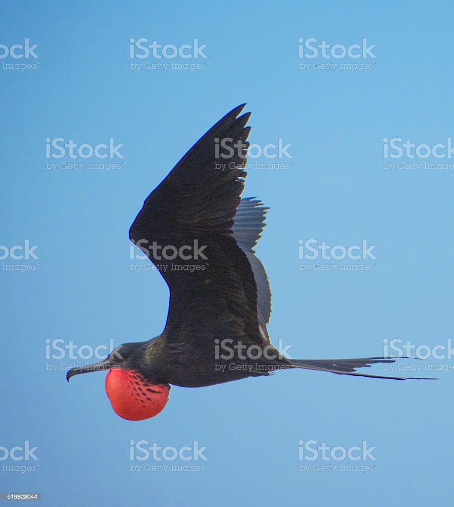 Classic male magnificent frigate bird stock photo
