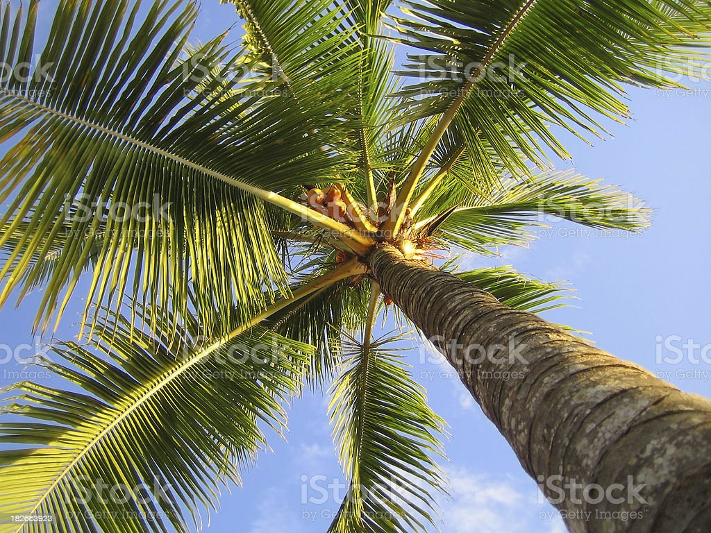 Classic palm tree stock photo