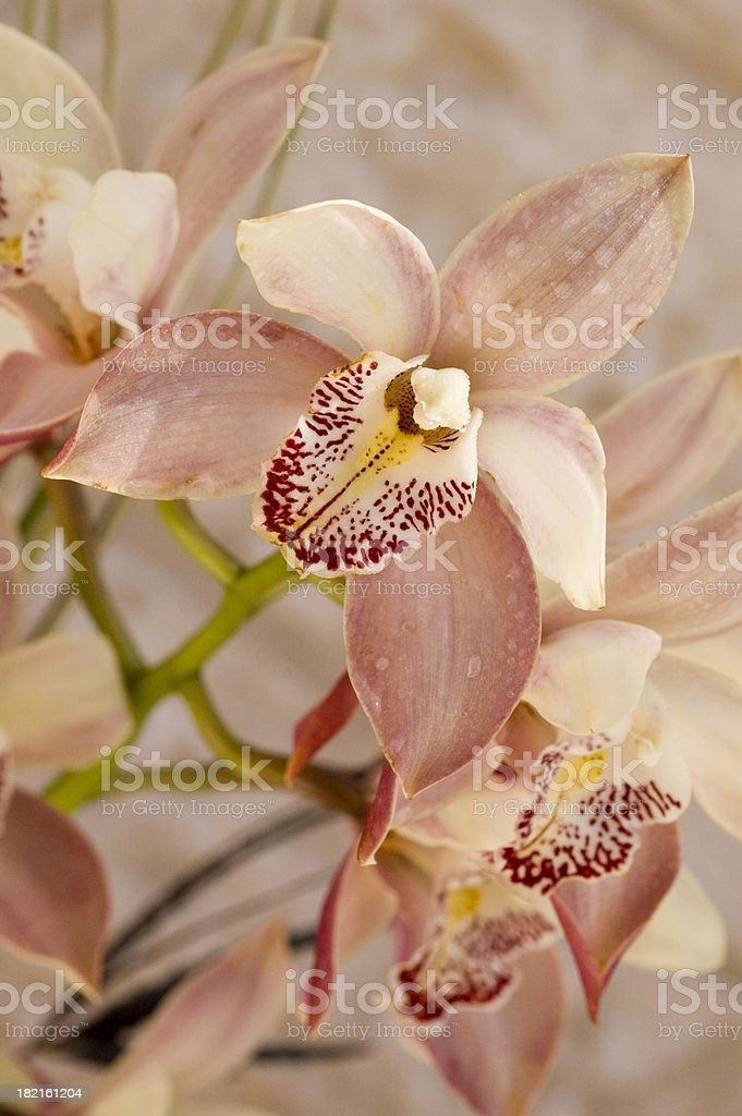 classic pink orchid2 royalty-free stock photo