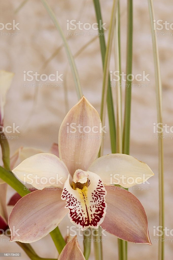 classic pink orchid4 royalty-free stock photo
