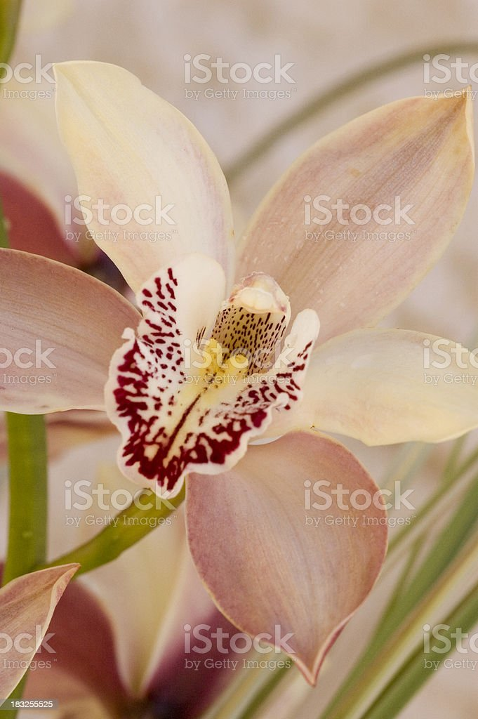 classic pink orchid5 royalty-free stock photo