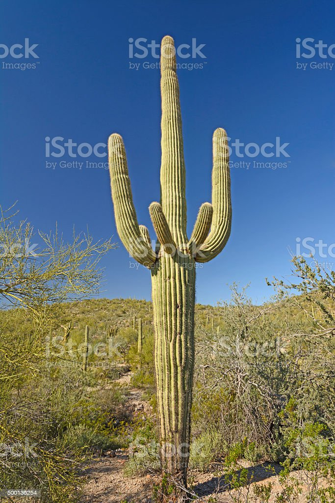 Classic Saguaro Cactus in the Desert stock photo