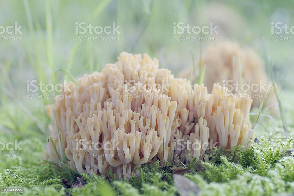 Clavaroid Fungus (Ramaria stricta) stock photo