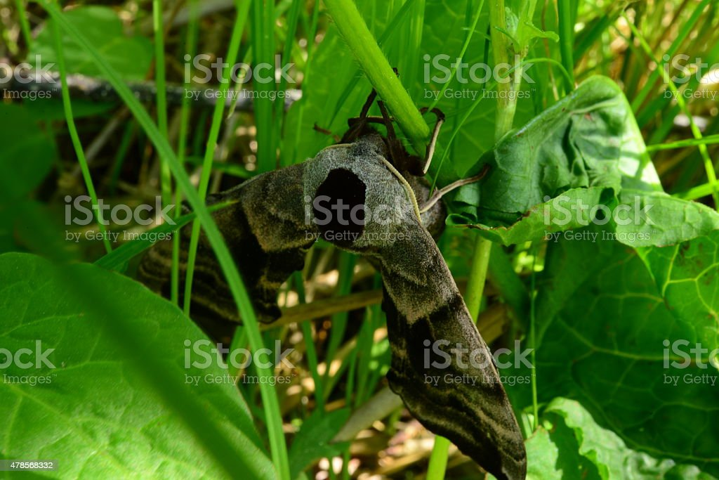 Claw Butterfly smerinthus ocellatus clings to the stem of grass stock photo
