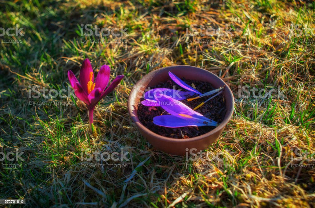 Clay pot with flowery black tea with saffron petals on a spring stock photo