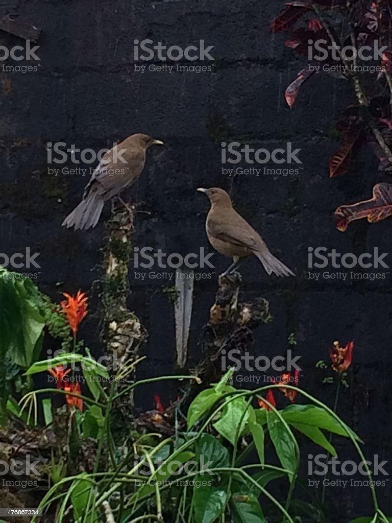Clay-colored thrush birds stock photo