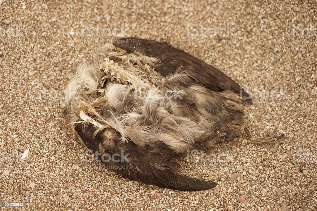 Clean bird carcass with bones & feathers on sand stock photo