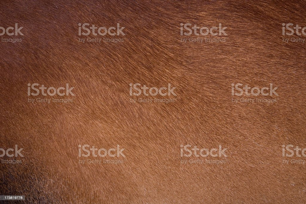 Clean brown coat of hair on a cow stock photo