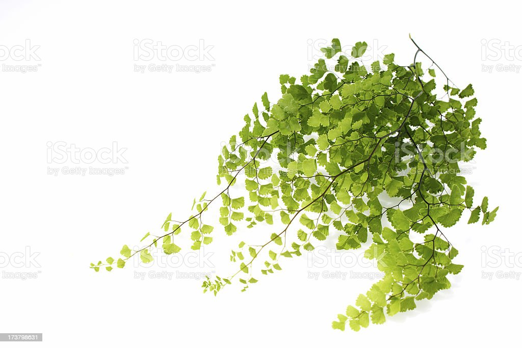 clean green fern stock photo